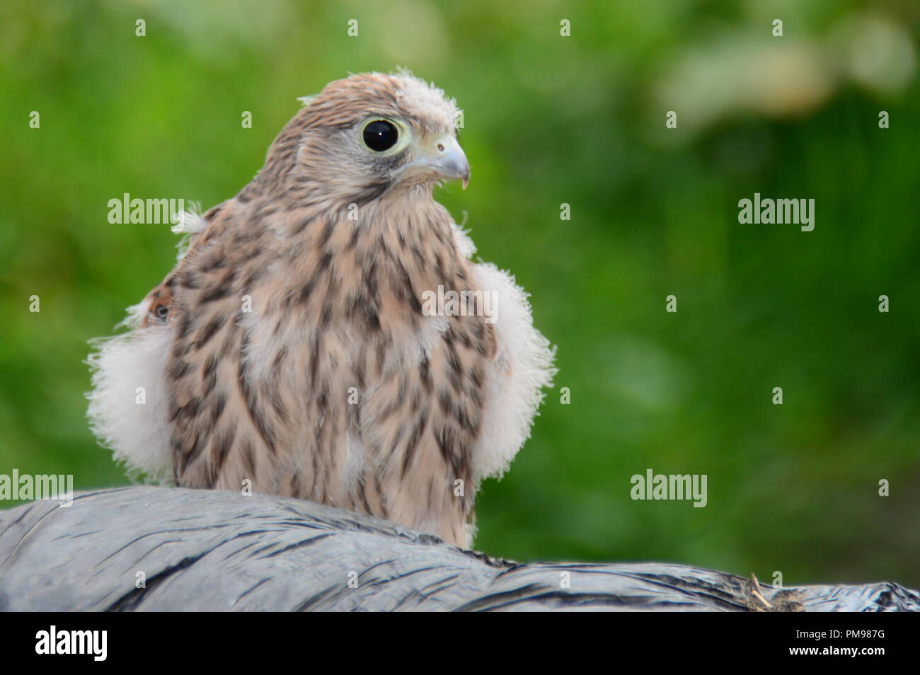 Close up portrait of a young kestrel (falco tinnunculus) that has recently left the nest - Stock Image