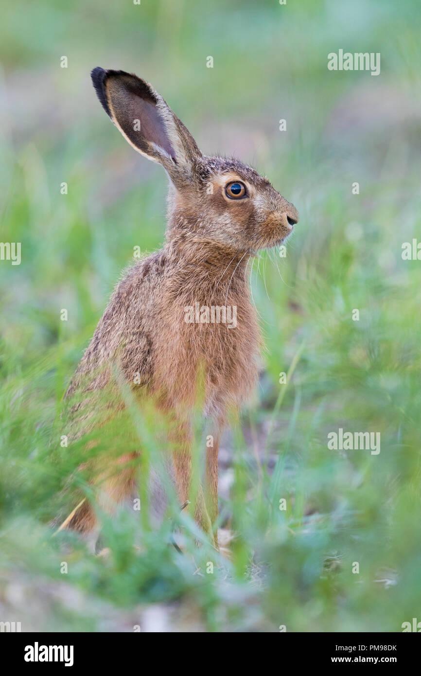 European Hare (Lepus europaeus), adult standing among the grass - Stock Image
