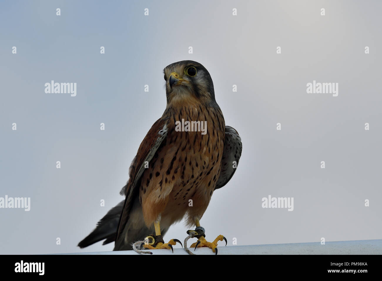 Close up portrait of a common kestrel (falco tinnunculus) - Stock Image
