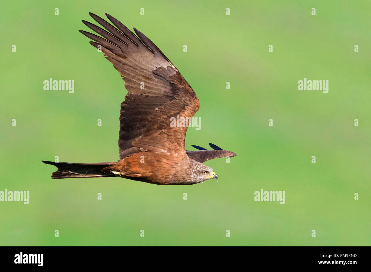 Black Kite (Milvus migrans), adult in flight - Stock Image