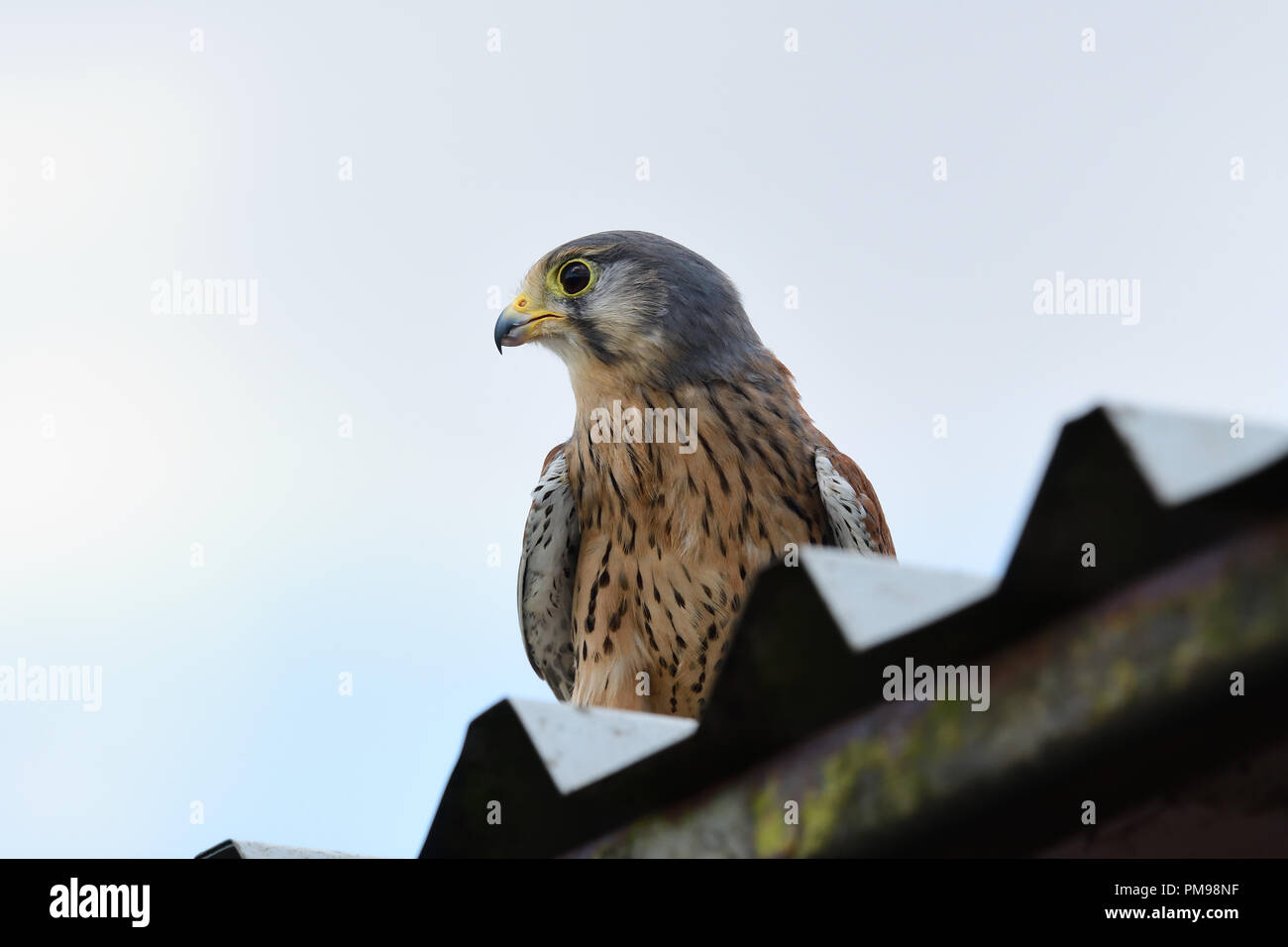 Portrait of a common kestrel (falco tinnunculus) perching on a shed roof - Stock Image