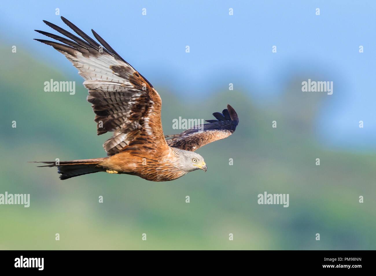 Red Kite (Milvus milvus), adult in flight - Stock Image