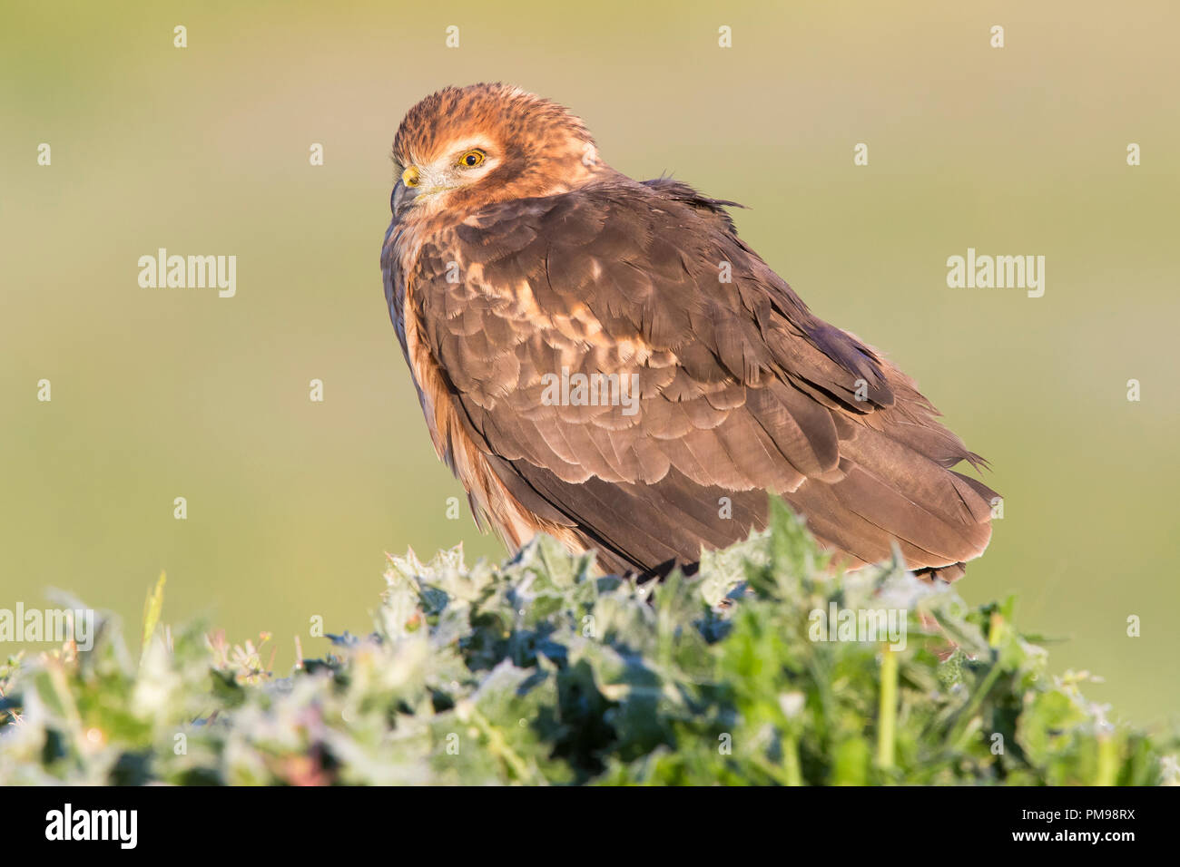 Montagu's Harrier (Circus cyaneus), adult female sitting on the ground - Stock Image