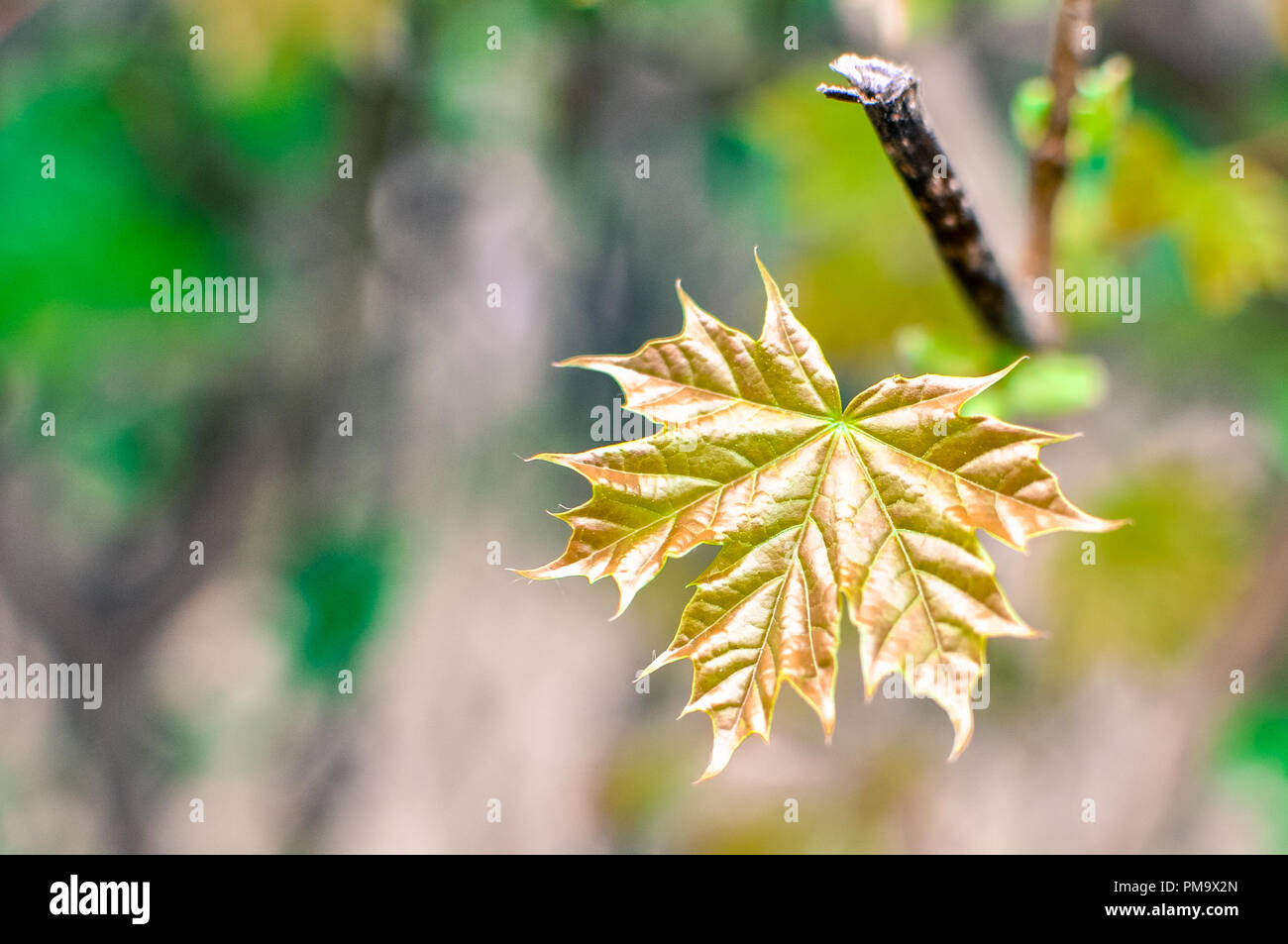 A Growing Maple Leaf At The Beginning Of Spring Stock Photo