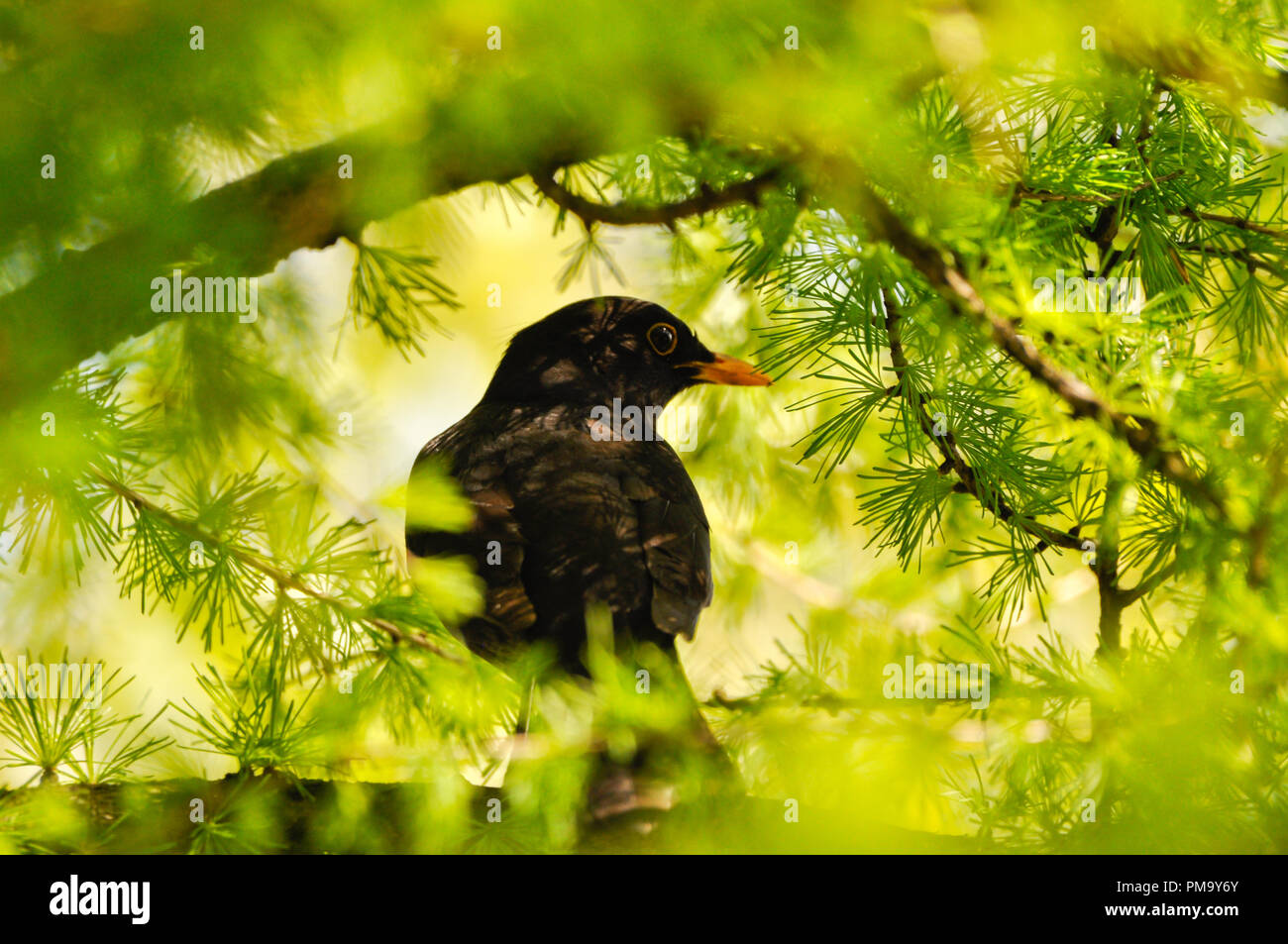 Blackbird perching on branch among conifers, in forest - Stock Image