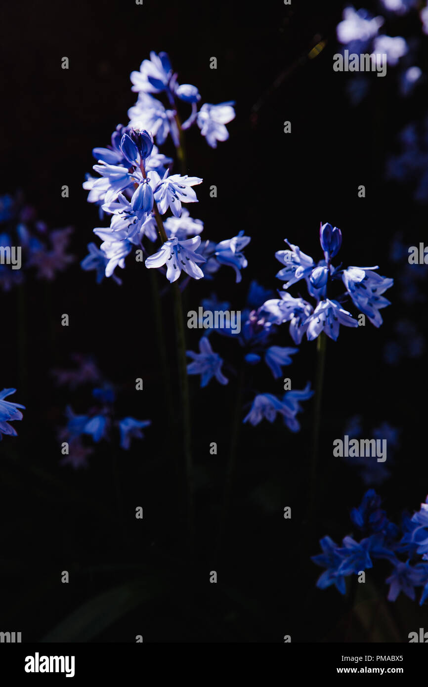 Blue bell shaped flower stock photos blue bell shaped flower stock pretty blue purple bluebell flowers isolated against a black background dramatic lighting mightylinksfo