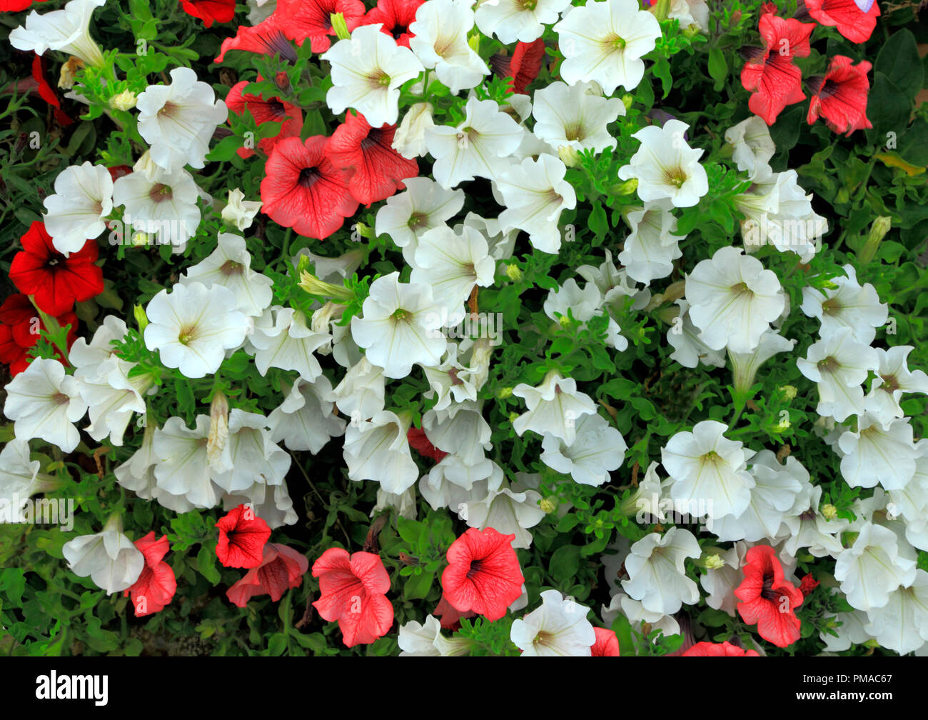 Petunia petunias red white trailing wall annuals flowers stock petunia petunias red white trailing wall annuals flowers mightylinksfo