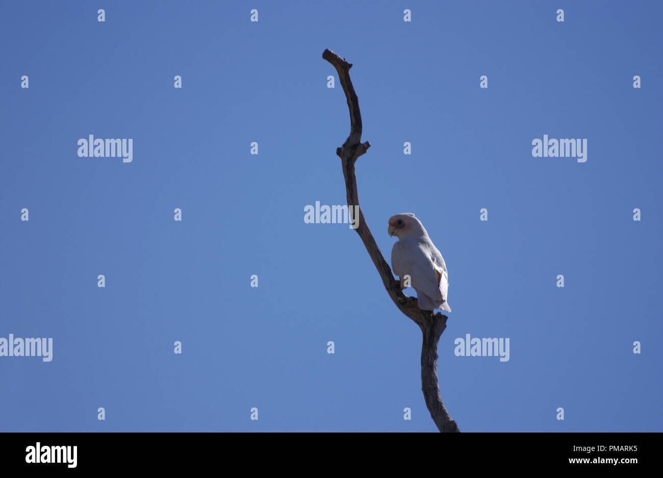 Little corella (Cacatua sanguinea) perched on tree branch in the outback of Western Australia. - Stock Image