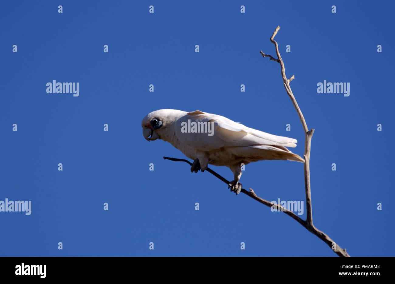 Little corella (Cacatua sanguinea) outback Western Australia. - Stock Image