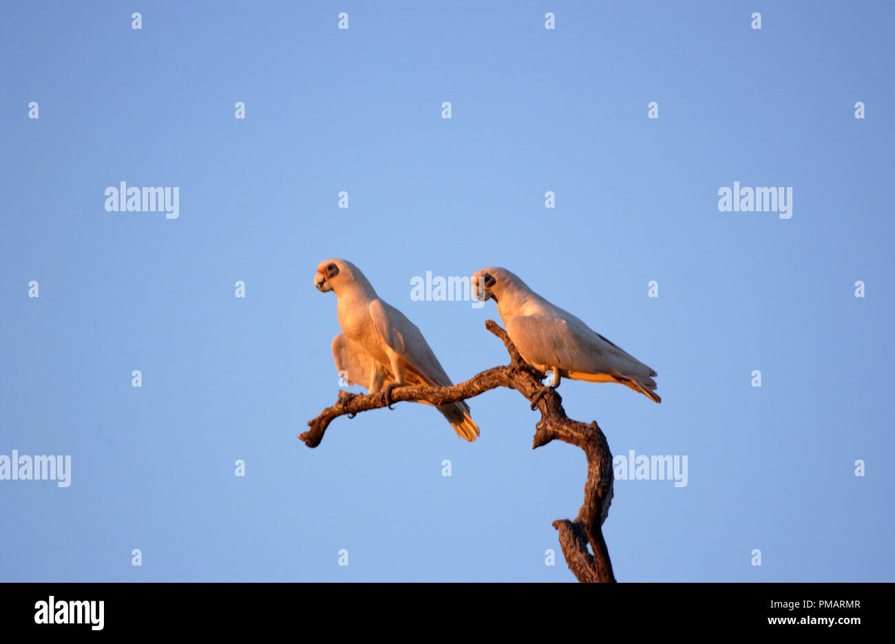 Little corellas (Cacatua sanguinea) perched on tree branch in the outback of Western Australia. - Stock Image