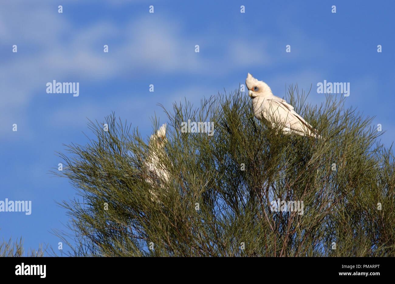 Little corellas (Cacatua sanguinea) perched in a tree in outback Western Australia. - Stock Image