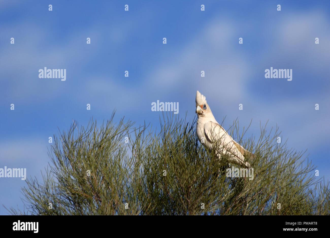 Little corella (Cacatua sanguinea) perched in a tree in outback Western Australia. - Stock Image