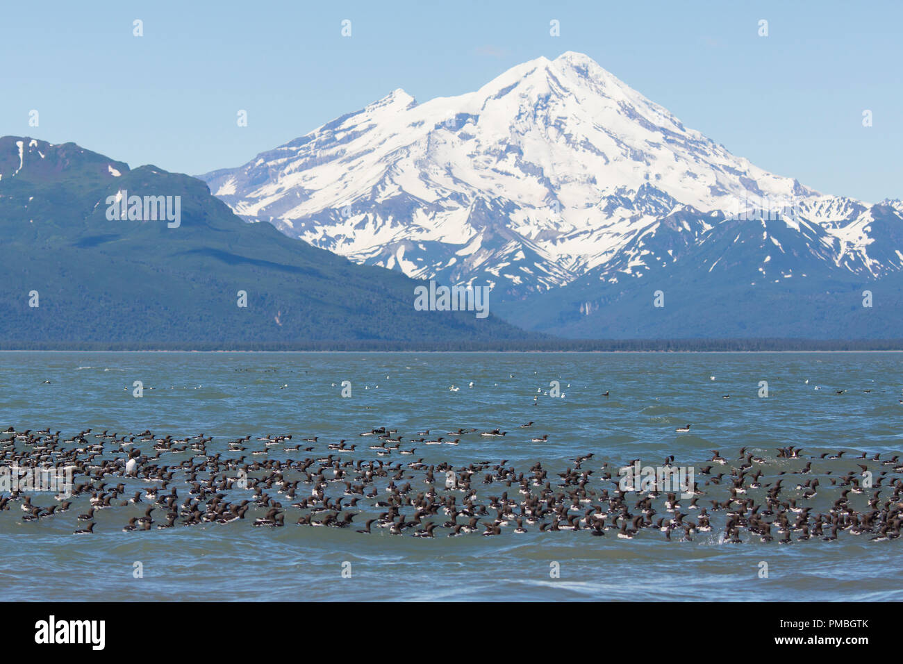 Raft of Common  Murres with Mt Redoubt volcano,  Lake Clark National Park, Alaska. - Stock Image