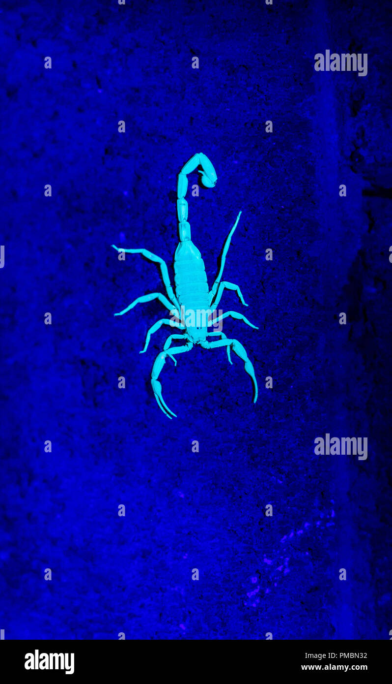 Florescent Arizona Bark Scorpion Stock Photo: 219075558 - Alamy