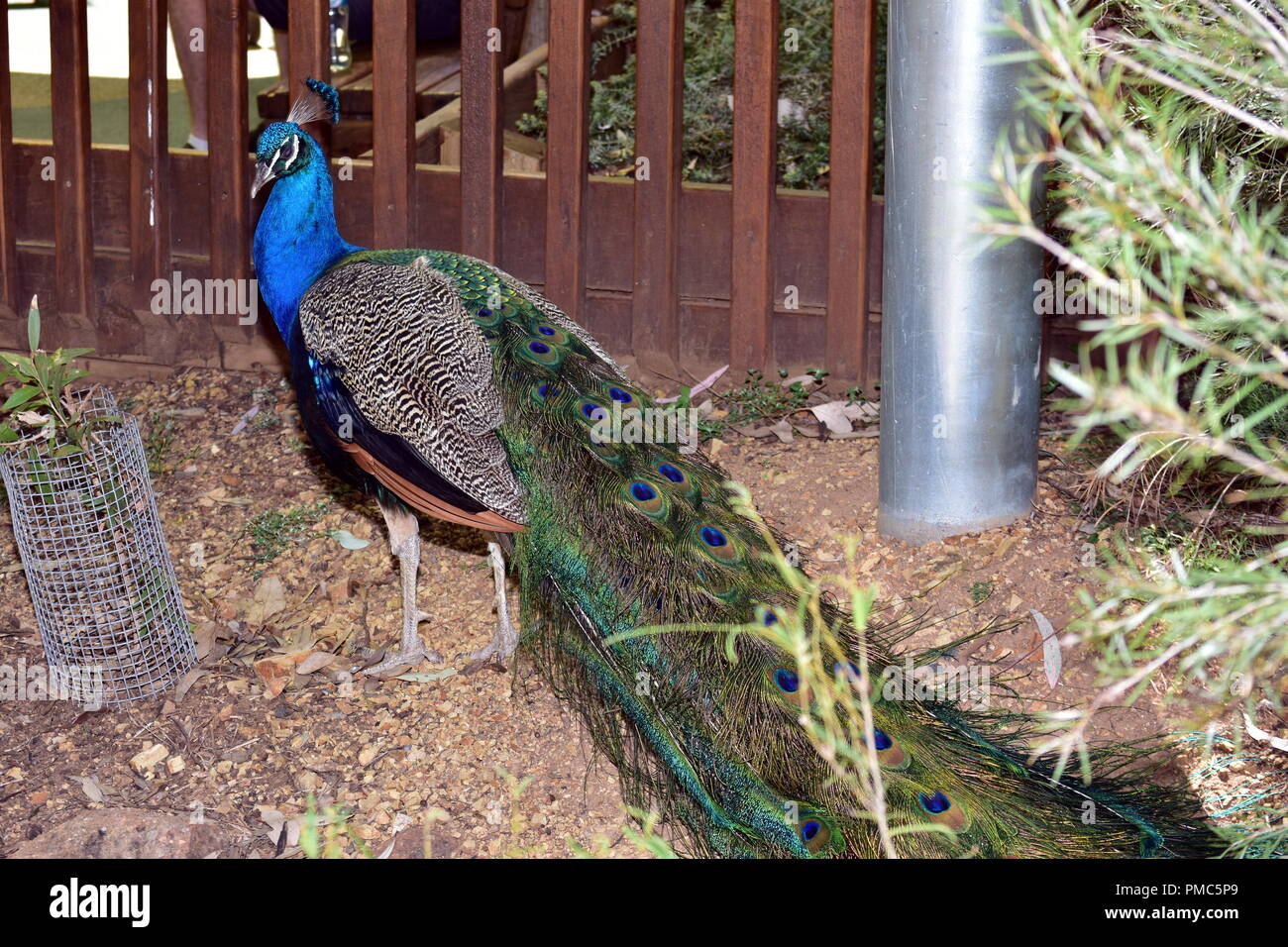 The blue, or Indian, peacock ( Pavo cristatus) - Stock Image