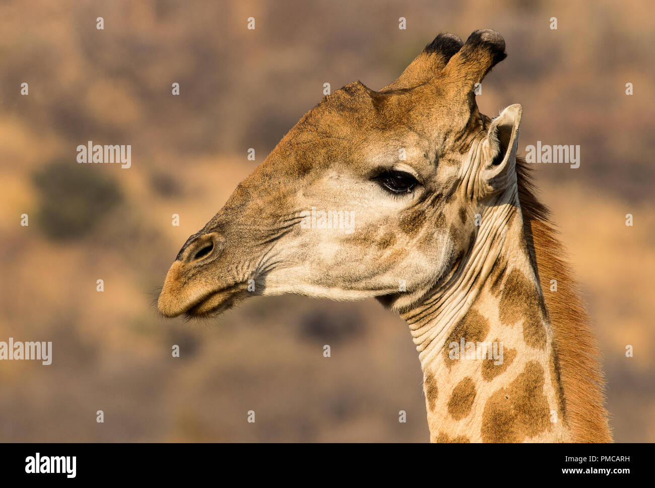 Portrait of a giraffe. Photograph taken at Pilanesberg National Park, South Africa - Stock Image