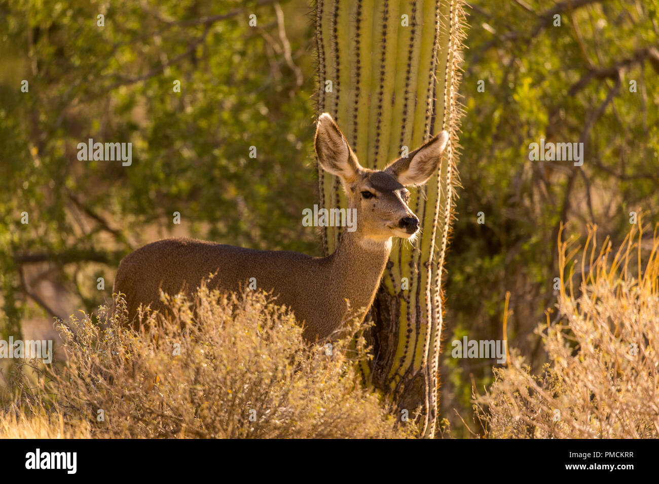 Mule Deer, Arizona. - Stock Image