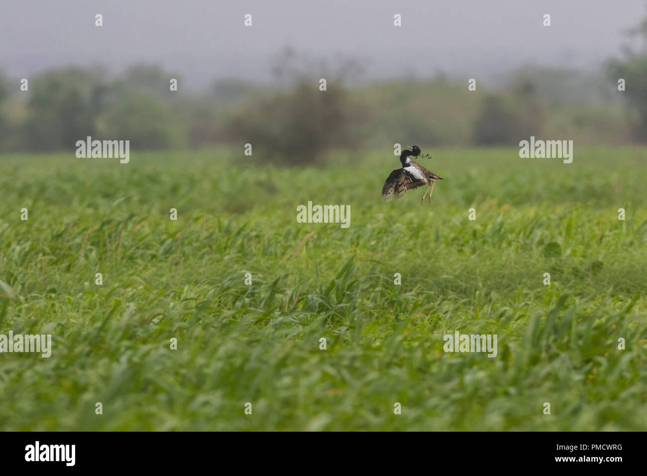 Rare and endangered Lesser Florican displaying mating ritual in lush green grassland - Stock Image