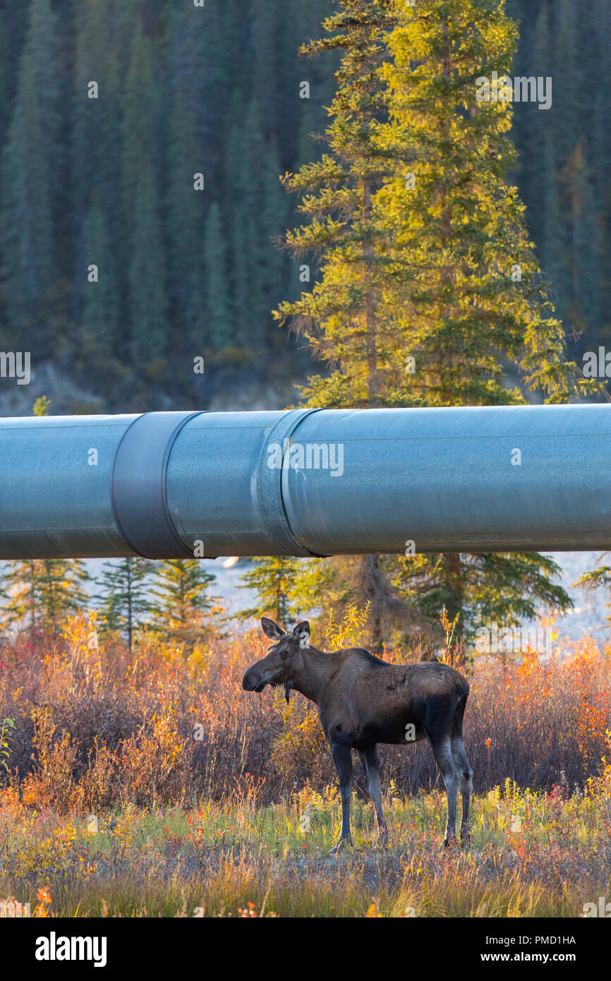 Moose and the Alyeska Trans Alaska pipeline, Brooks Range, Arctic Alaska. - Stock Image