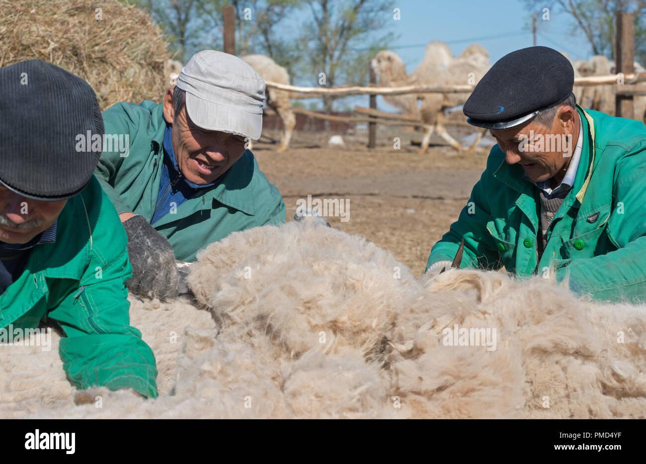 Bactrian camel shearing (clipping) at the camel farm «Aksarayskiy», Astrakhan region, Russia - Stock Image