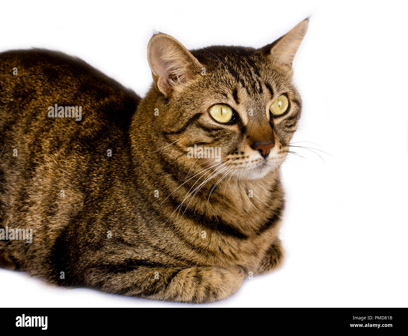 A striped cat on a white background looks aside Stock Photo