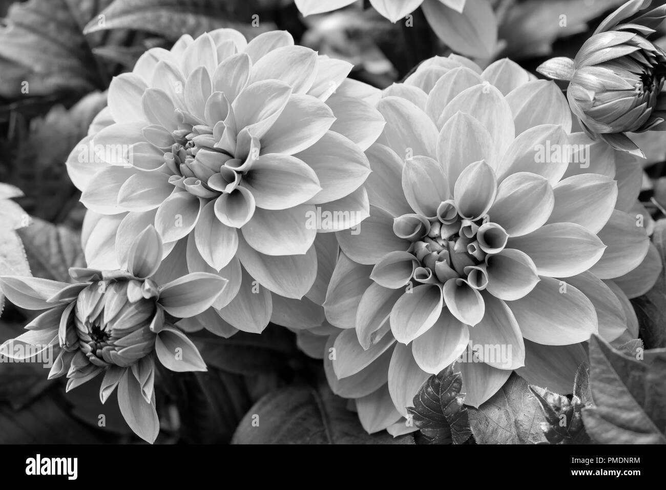 Beautiful purple dahlia fresh flower blossoming in the garden black and white