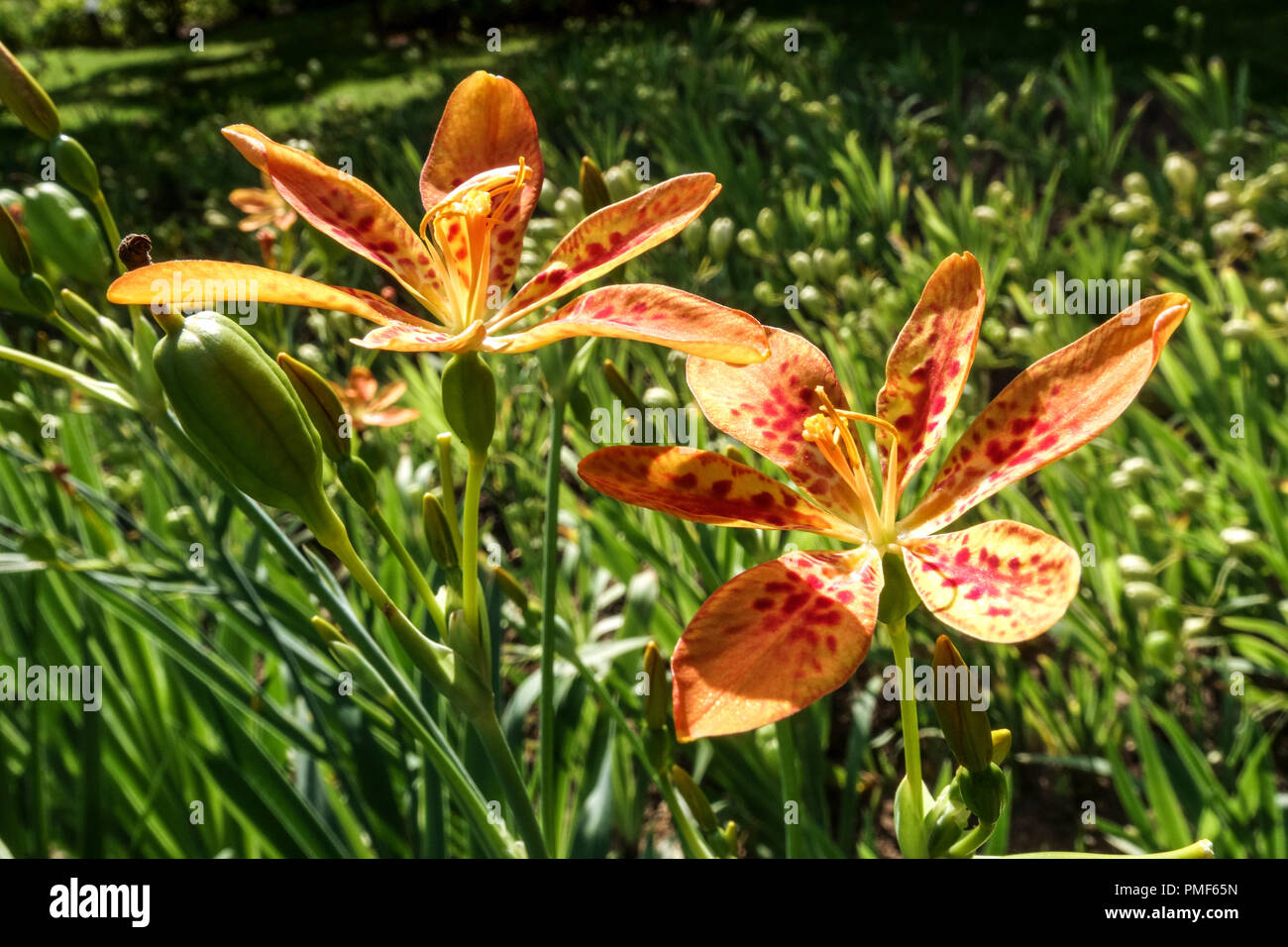 Belamcanda chinensis or Iris domestica known as leopard lily, blackberry lily, and leopard flower Stock Photo
