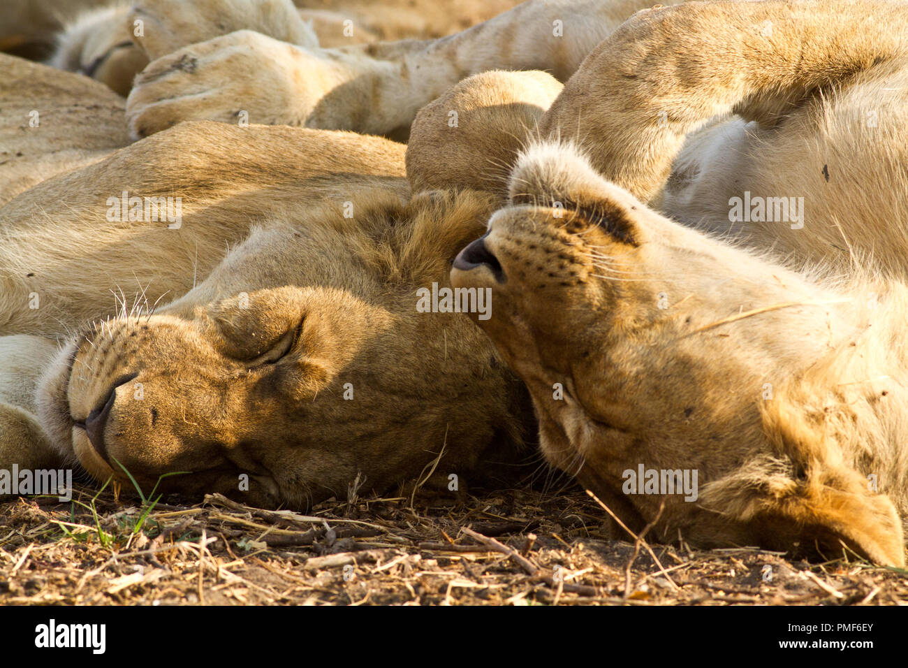 The Chada Pride snoozes in the shade after having fed well off a buffalo kill - Stock Image