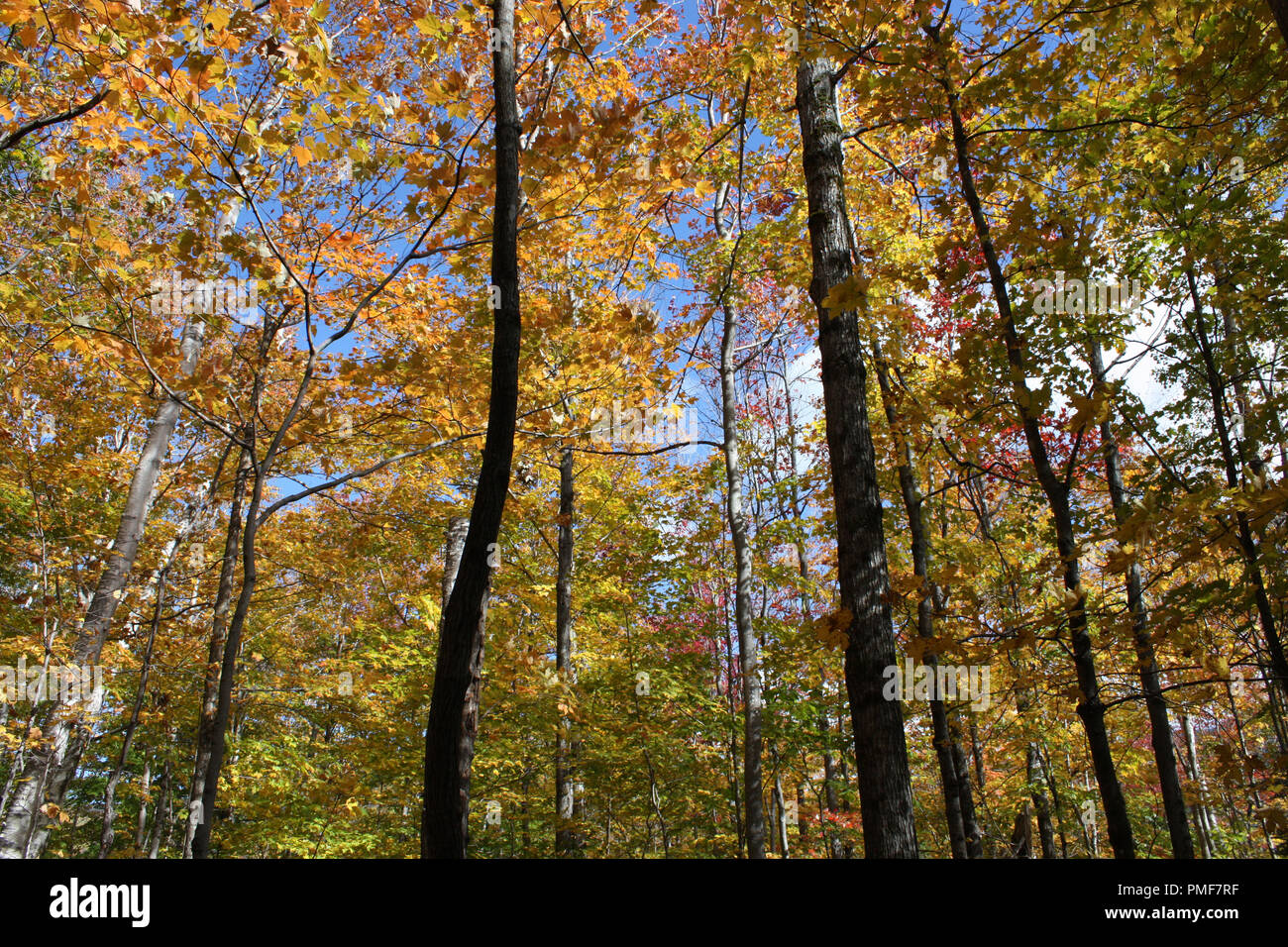 Upward shot of forest canopy landscape of fall colors in the forest at Crawford Notch State Park in New Hampshire, USA Stock Photo