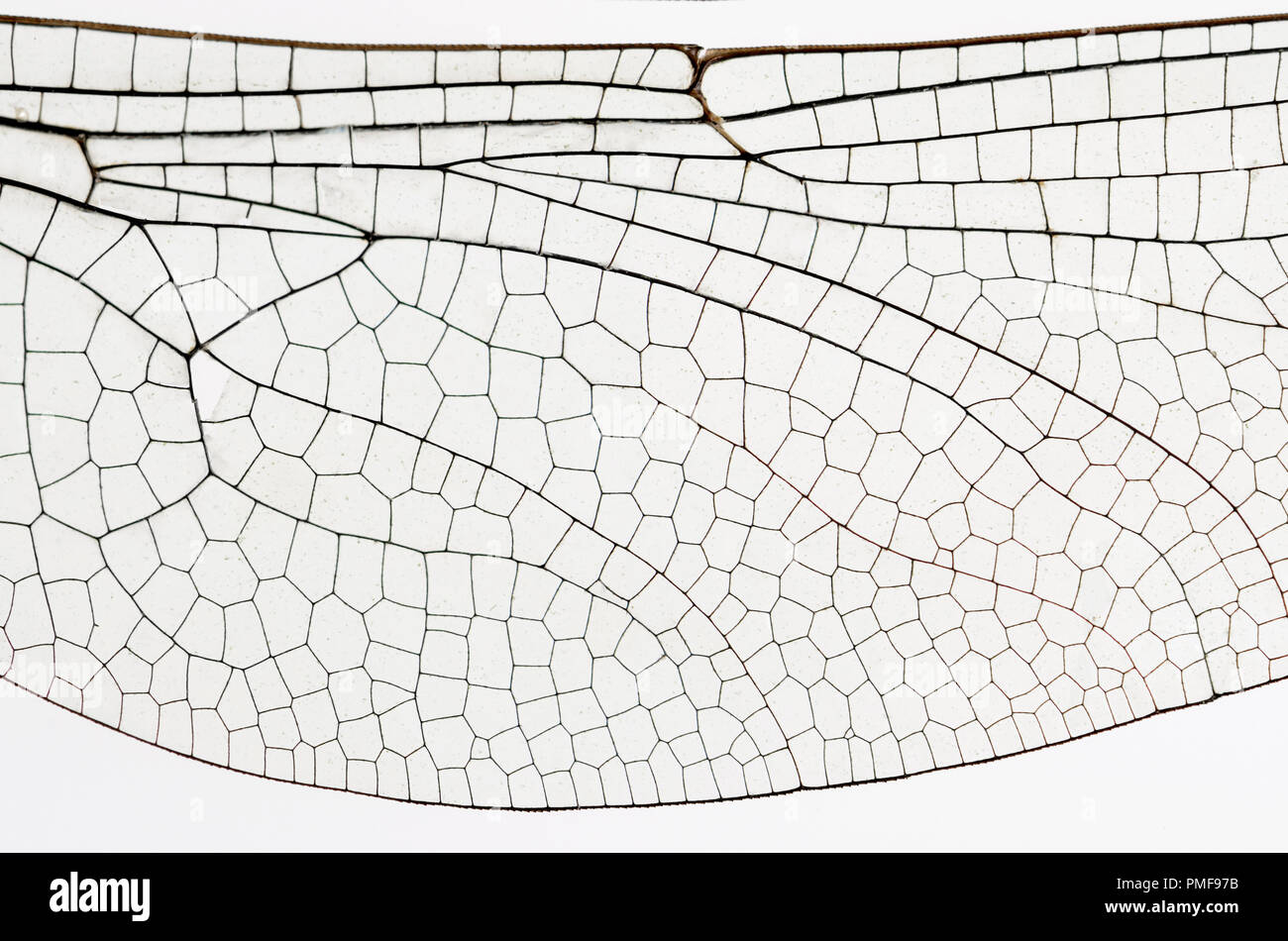 Wing of the Common Darter Dragonfly (Sympetrum striolatum) from a dead specimen. Showing veins and transparent cells - Stock Image