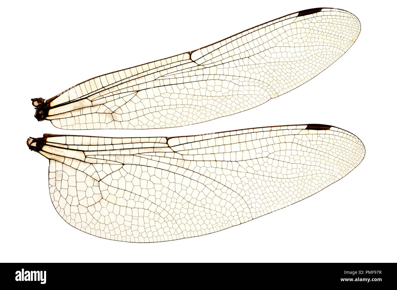 Wings of the Common Darter Dragonfly (Sympetrum striolatum) from a dead specimen. Showing veins and transparent cells - Stock Image