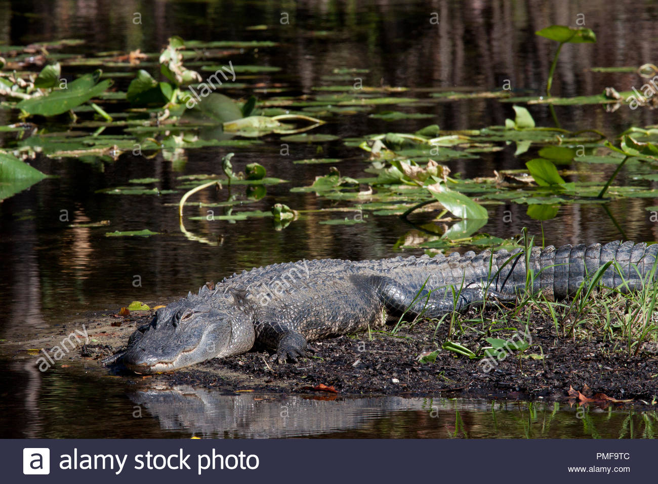 This alligator is quietly sunnig itself on a small island in Hillsborough Wilderness Park Florida - Stock Image