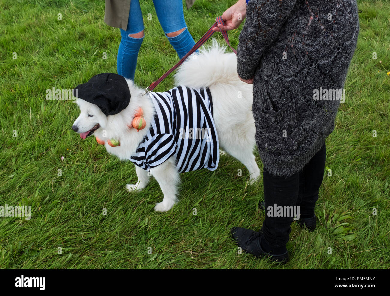 Samoyed dog dressed as a French onion seller during a dog show at the Chepstow Festival. - Stock Image