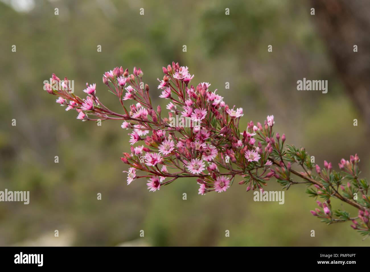 Verticordia plumosa, Plumed Featherflower - Stock Image