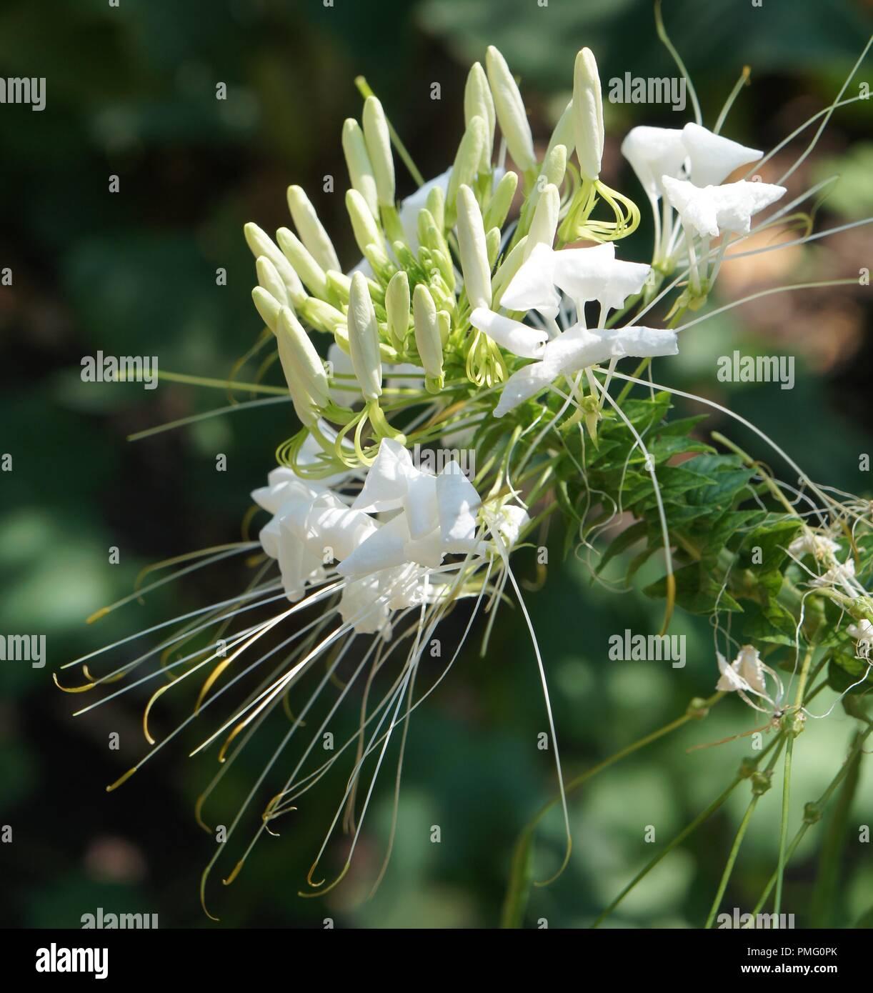 Fleur Blanche De Cleome Hassleriana Spider Flower Spider Plant