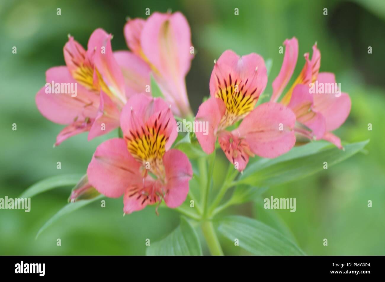 fleur rose saumon de Alstroemeria aurea lys des incas, pink flower of Peruvian lily,  lily of the Incas, flor de lirio rosa de los Incas, rosa Lilienb Stock Photo