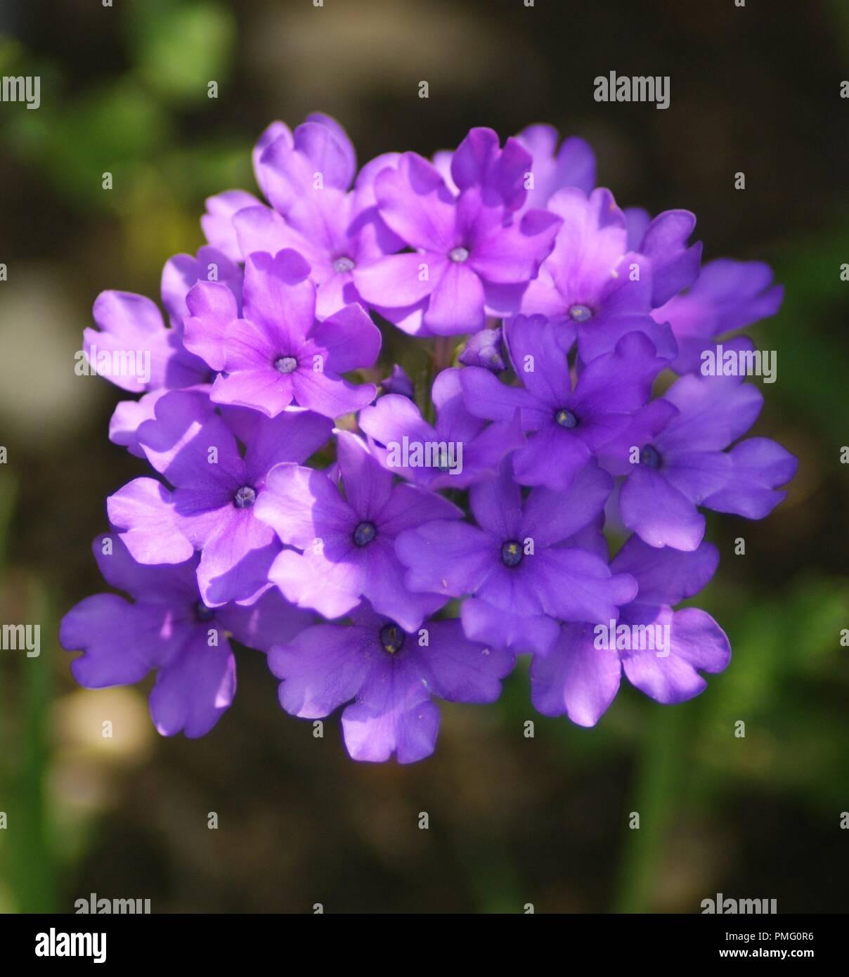 Gros Plan D Une Fleur Violette Et Rose De Verveine Verveine