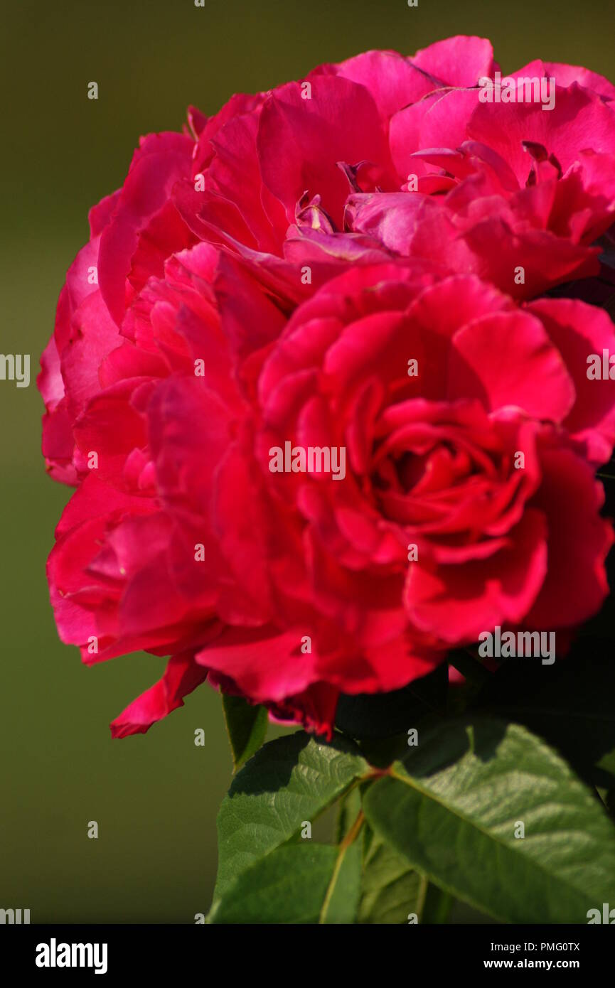 Image D Une Rose Rouge rose rouge stock photos & rose rouge stock images - alamy