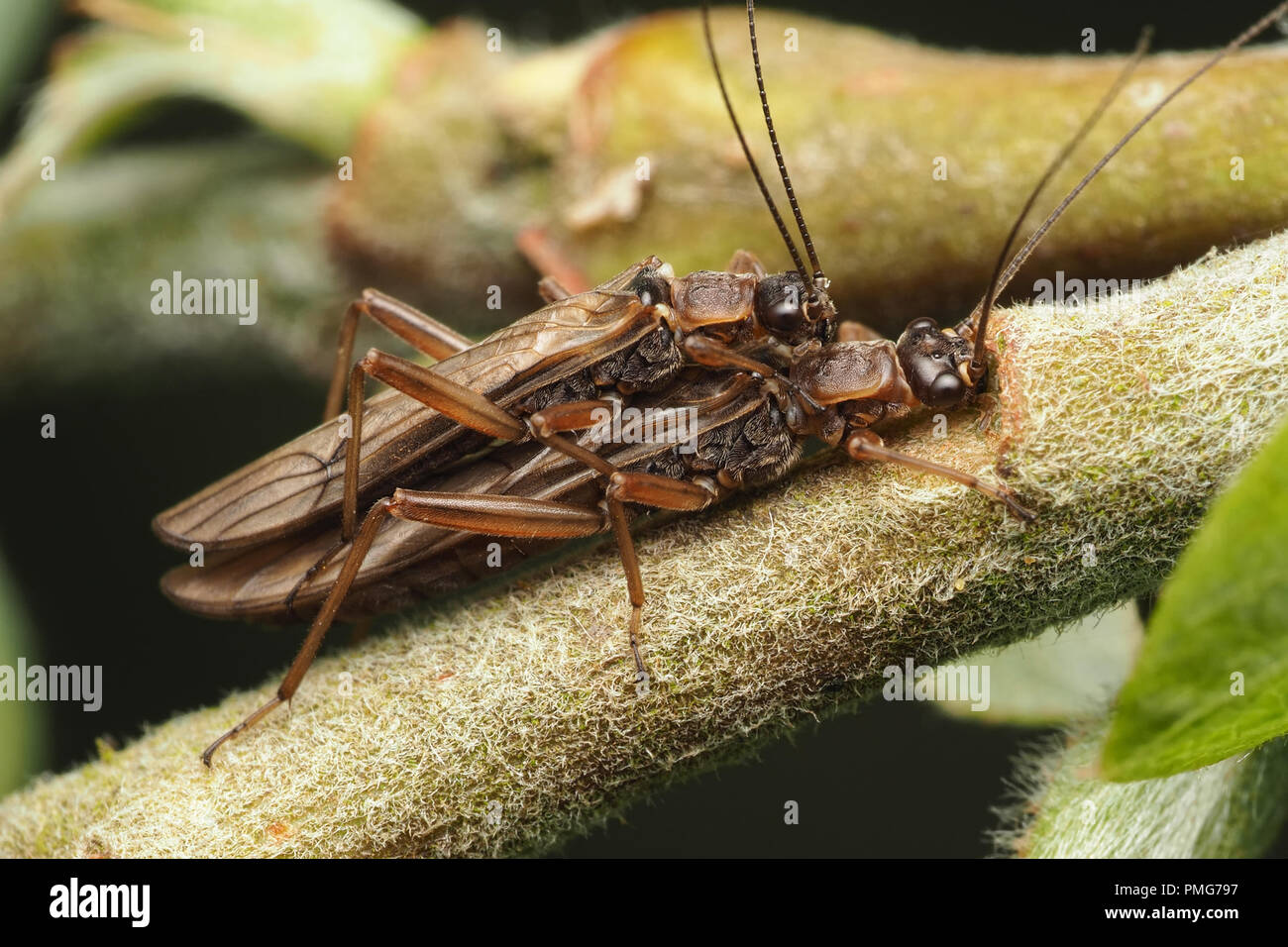 Mating Stoneflies on branch of tree. Tipperary, Ireland - Stock Image