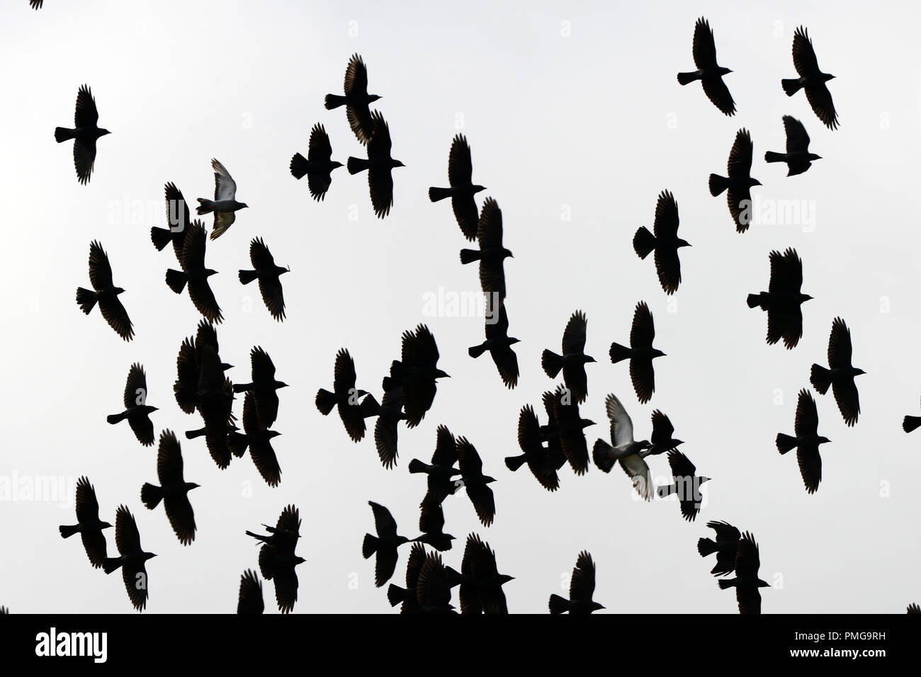 Two doves among a flock of  crows, 50 or more in total - Stock Image
