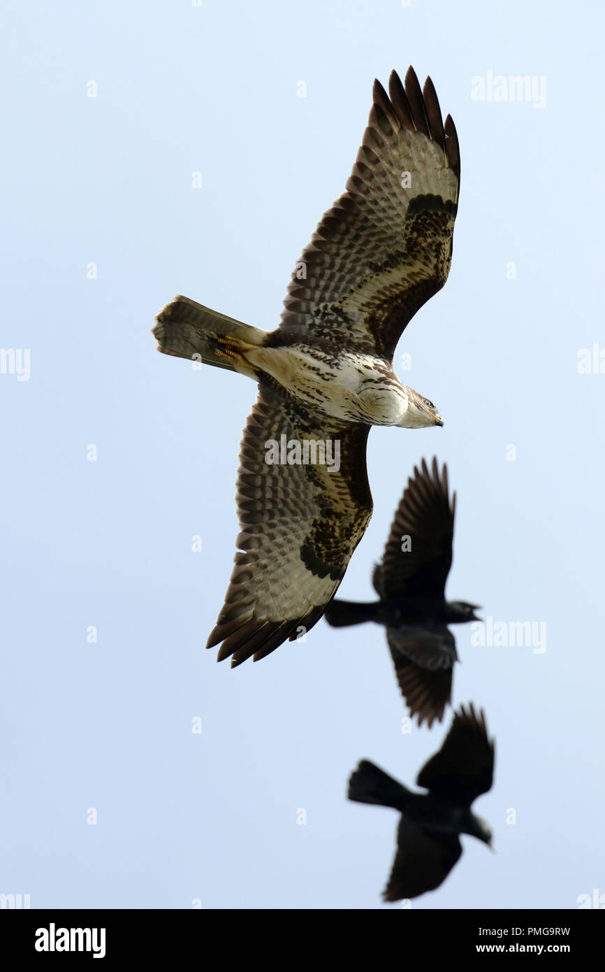 crows mobbing buzzard, one has beak wide open in annoyance Stock Photo