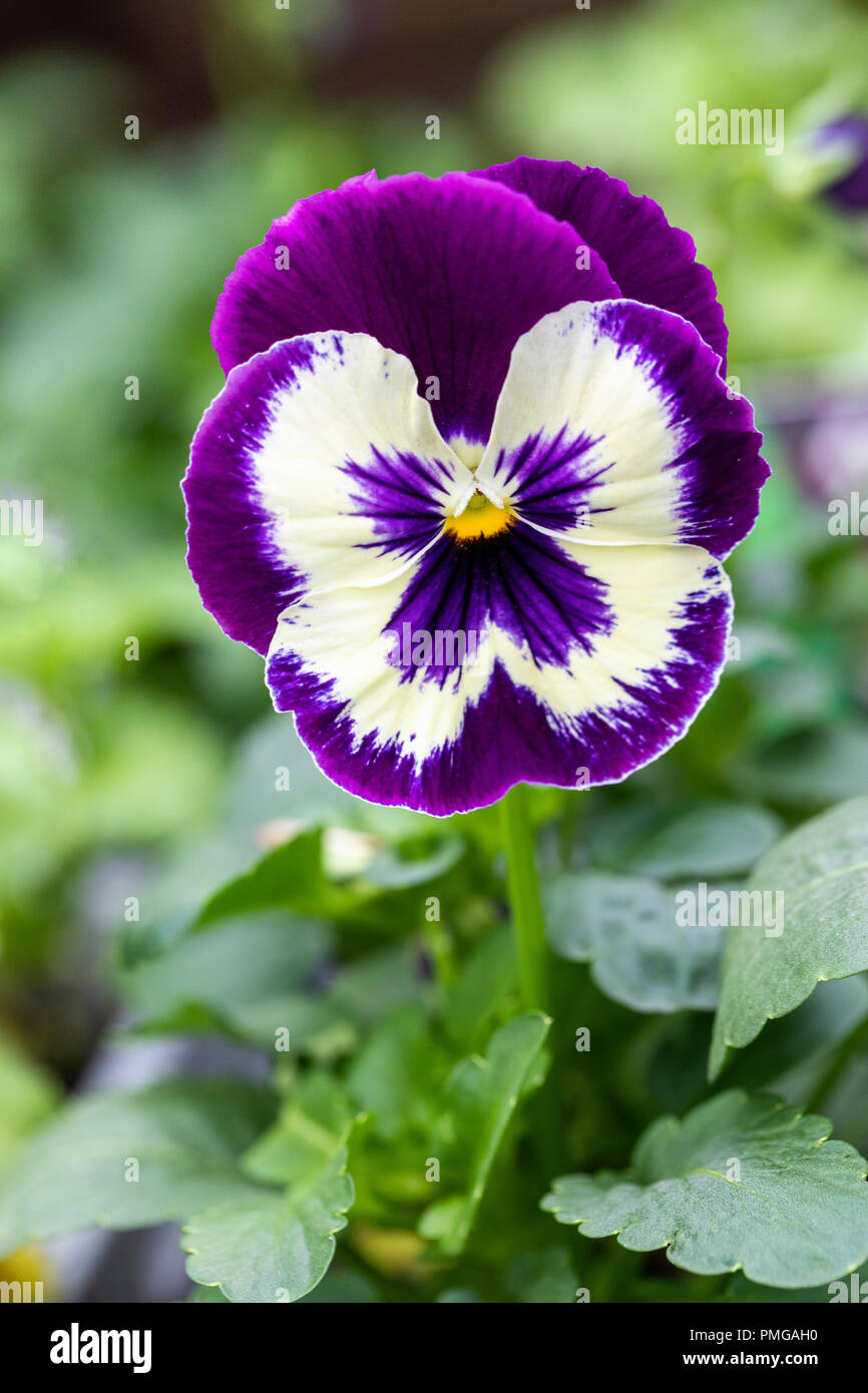 Close up of Matrix Purple & White Pansy flowering in an English garden - Stock Image