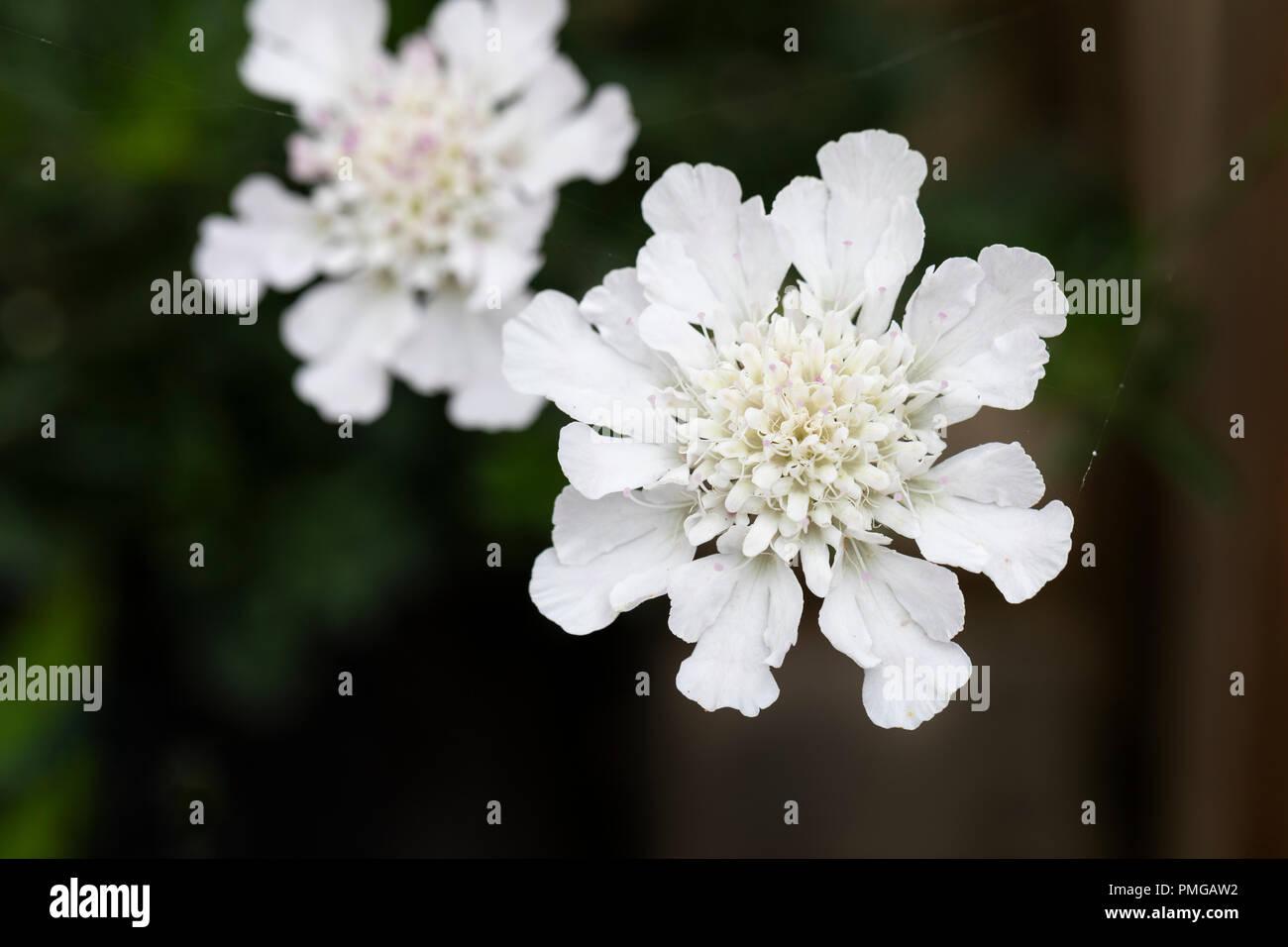Close Up Of Scabiosa Incisa Kudo White Pincushion Flower