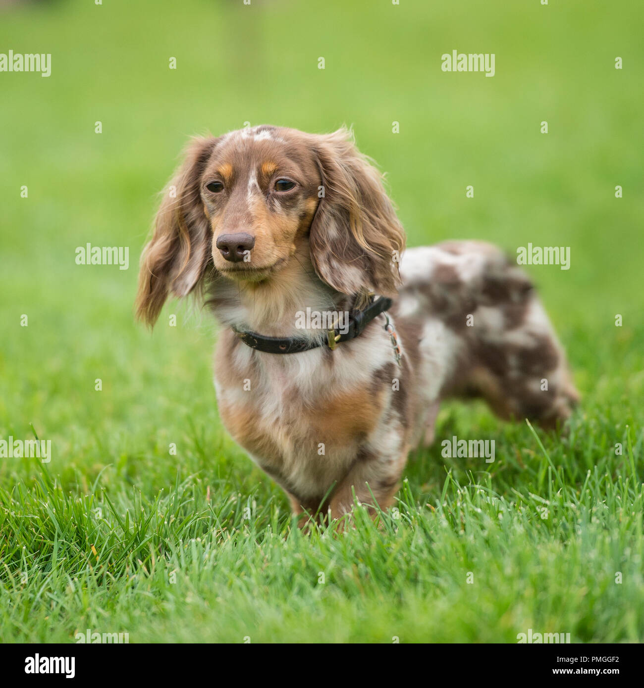 Longhaired Dachshund High Resolution Stock Photography And Images Alamy