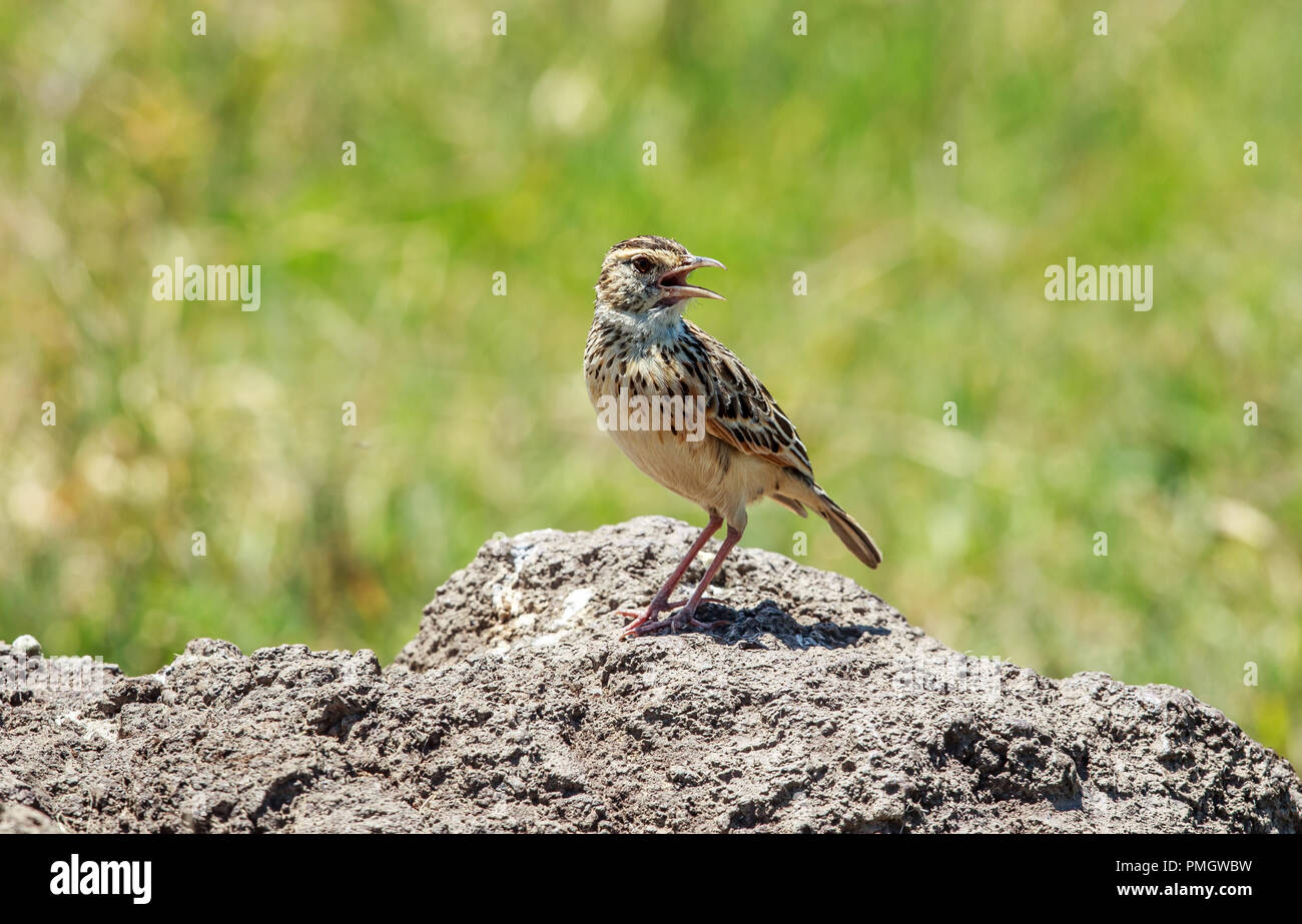 The rufous-naped lark or rufous-naped bush lark is a widespread and conspicuous species of lark in the lightly wooded grasslands and open savannas. Stock Photo
