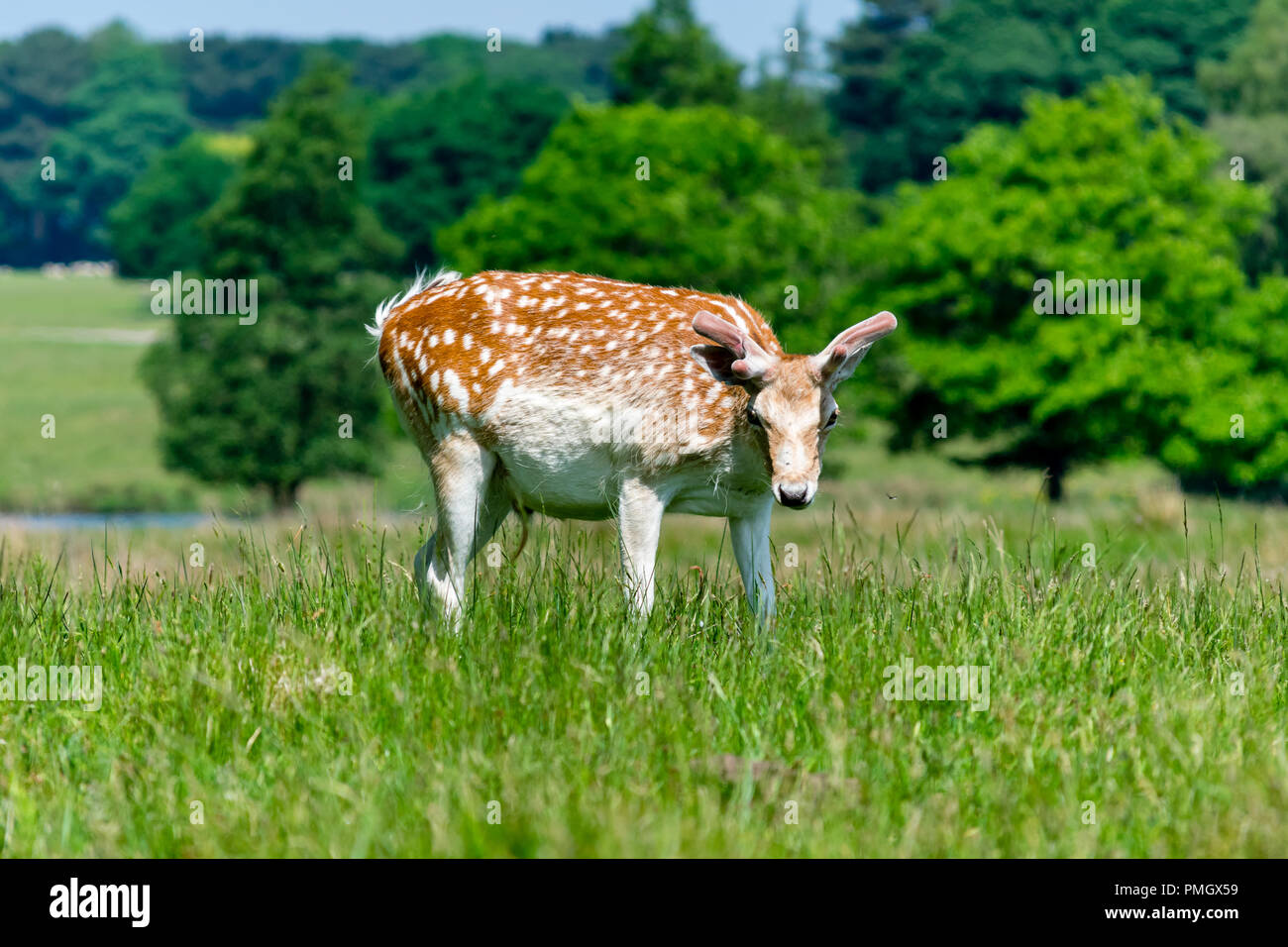 A Deer looking curiously at the camera, Tatton Park, England. - Stock Image