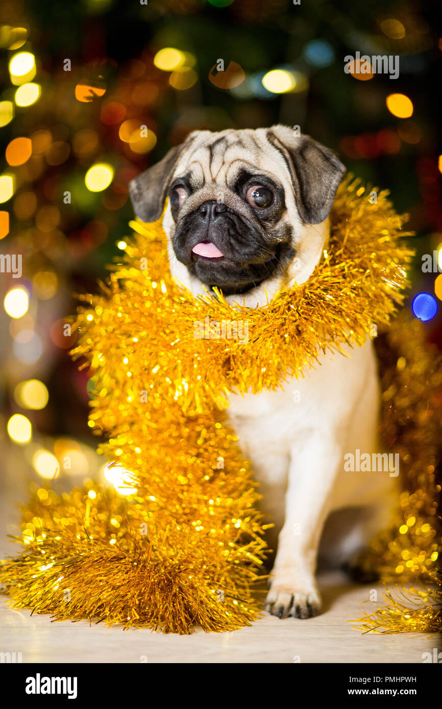 A Pug Dog In A Tinsel Near A Christmas Tree With Garlands Stock