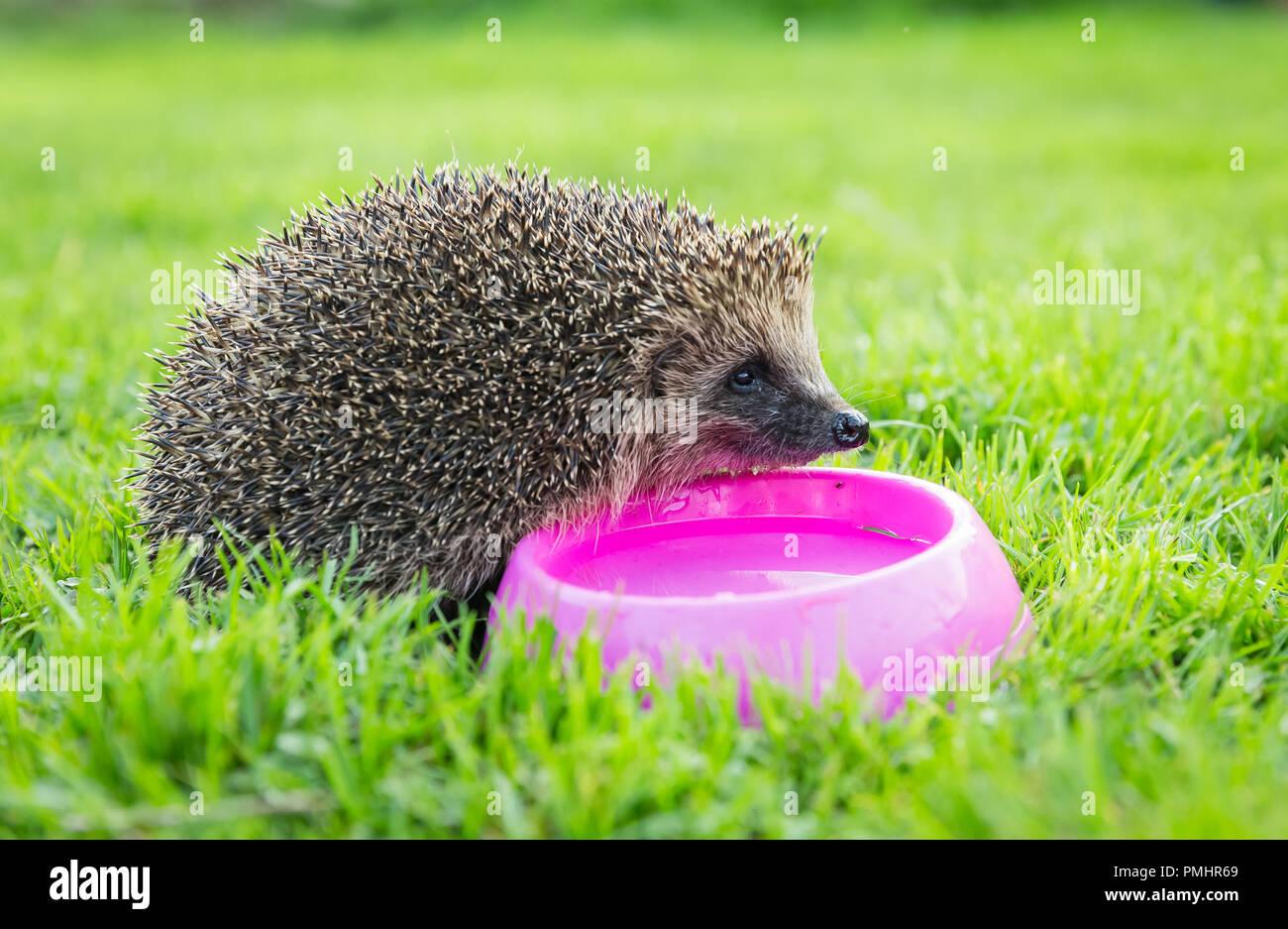 Hedgehog, wild, native hedgehog with pink bowl of water, facing right in natural garden habitat.  Scientific name: Erinaceus Europaeus. Horizontal - Stock Image