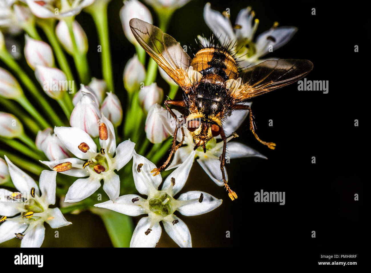 fly on white flower, background macro photo with place for text - Stock Image