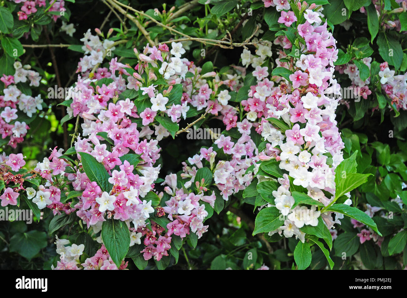 White Flowers Of Weigela Florida Fading To Pink Stock Photo